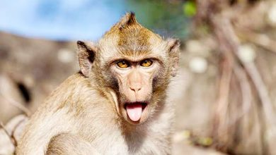 लखीमपुर में बंदर बीमार