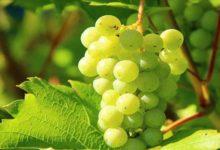 अंगूर के फायदे