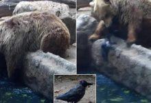 भालू ने बचाई कौए की जान
