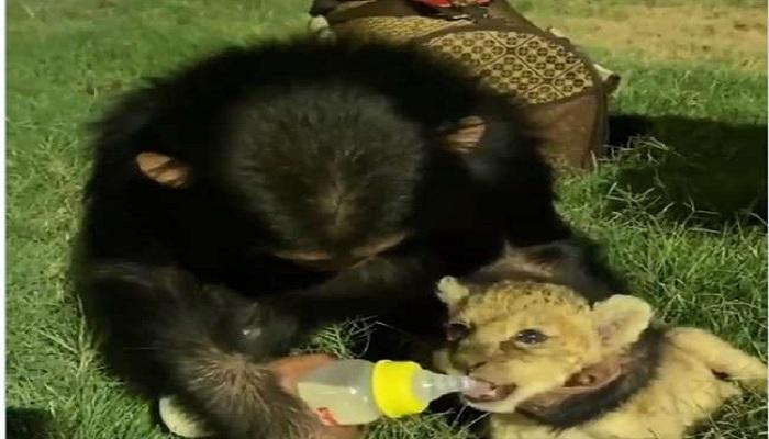 दूध पीते दिखे बाघ के बच्चे