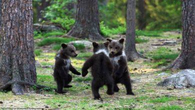 वन में भालू ने किया डांस