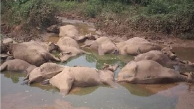 मिर्जापुर में आसमान से गिरी buffaloes-died-by-lightning-in-mirzapurबिजली