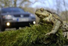 frog cross road