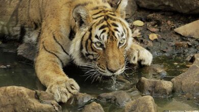 Campaign to capture leopard and tigress started