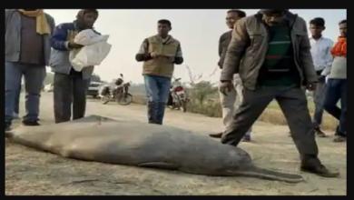 dolphine killed