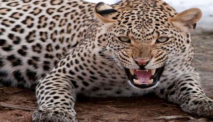 Leopard attacked