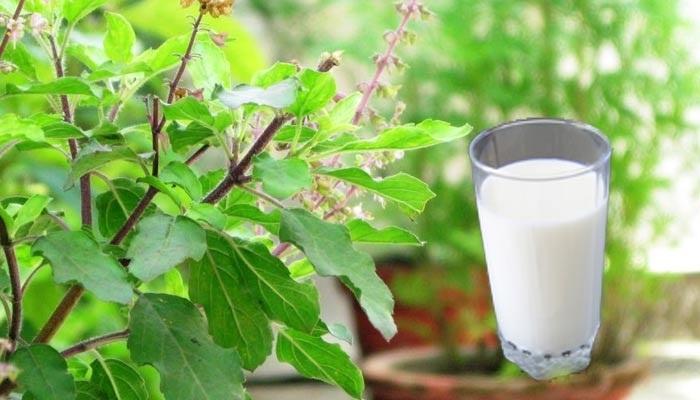 benefits of tulsi milk
