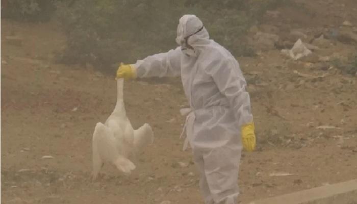 बर्ड फ्लू की दस्तक bird flu knocks