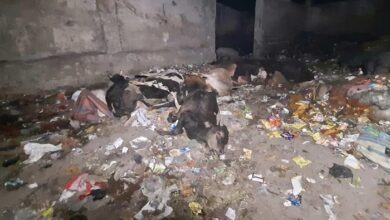 bodies of cows found in litter