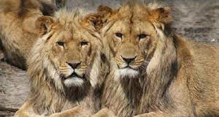 Corona confirmed in 8 lions.