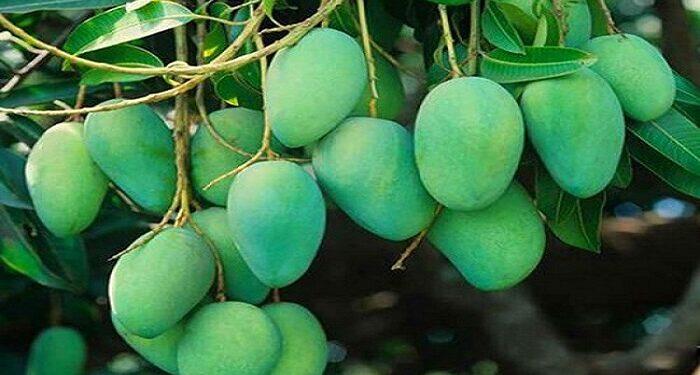 dussehri mango