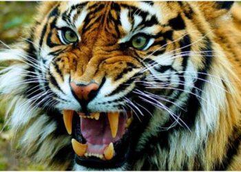 tiger attacked